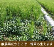 無農薬だからこそ…雑草も生えます